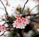 Ramalhete de florescência de Sakura Fotos de Stock Royalty Free