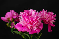 Ramalhete de peonies cor-de-rosa Fotos de Stock Royalty Free