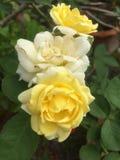 Ramalhete de Rosa amarela com folhas verdes foto de stock royalty free