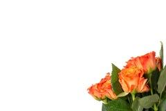 Ramalhete de rosas alaranjadas frescas com um grande copyspace sobre o branco Foto de Stock Royalty Free