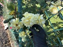 Ramalhete de rosas amarelas em uma m?o f?mea em um fundo branco fotografia de stock royalty free