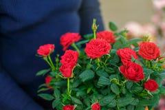 Ramalhete de rosas bonitas vermelhas, fundo bonito Fotografia de Stock Royalty Free