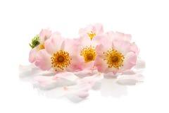 Ramalhete de rosas selvagens foto de stock