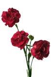 Ramalhete de três flores vermelhas do cravo Fotografia de Stock