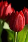 Ramalhete de tulipas vermelhas Imagens de Stock Royalty Free