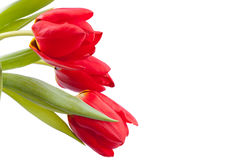 Ramalhete de tulips da mola vermelha Fotografia de Stock