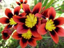Ramalhete de Wandflower fotografia de stock