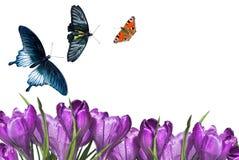 Ramalhete do açafrão com borboletas Fotografia de Stock Royalty Free