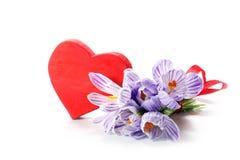 Ramalhete do açafrão com uma forma vermelha do coração isolado no backgrou branco Fotos de Stock Royalty Free
