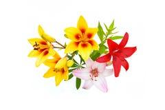 Ramalhete do lírio vermelho, cor-de-rosa e amarelo no fundo branco Imagens de Stock Royalty Free