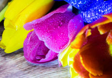 Ramalhete do macro do close up das tulipas do cartão vermelho e roxo amarelo das tulipas Foto de Stock