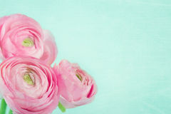Ramalhete do ranúnculo cor-de-rosa na luz - fundo azul Imagem de Stock Royalty Free