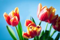 Ramalhete do vermelho com as tulipas amarelas da mola Foto de Stock