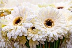 Ramalhete dos gerberas brancos. Imagem de Stock