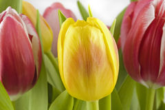 Ramalhete dos tulips Foto de Stock Royalty Free