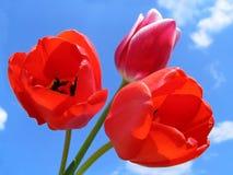 Ramalhete dos Tulips Fotos de Stock