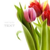 Ramalhete dos tulips frescos Fotografia de Stock Royalty Free