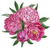 Ramalhete floral excelente e delicado com as peônias de florescência isoladas no fundo branco, projeto pintado à mão da aquarela ilustração stock