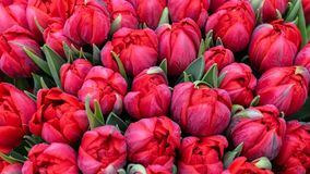 Ramalhete gigante de tulipas vermelhas bonitas como o fundo fotografia de stock