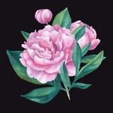 Ramalhete isolado vetor de peônias da aquarela Foto de Stock Royalty Free