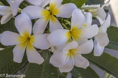 Ramalhete natual do Plumeria fotos de stock royalty free