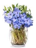 Ramalhete selvagem violeta brilhante da flor da pervinca Foto de Stock Royalty Free
