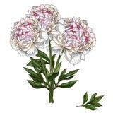 Ramalhete tirado mão da peônia delicadamente cor-de-rosa ilustração royalty free