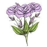 Ramalhete tirado mão de flores do eustoma ilustração stock