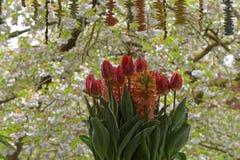 Ramalhete vermelho da flor da tulipa de Bloomong Imagem de Stock