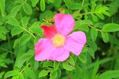 Ramanas rose Royalty Free Stock Images