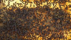 Ramar av en bibikupa Beekeeperplockninghonung Birökaren är van vid lugna bin för ramborttagning beelining stock video