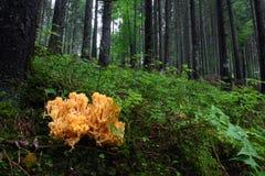 Ramaria aurea Royalty Free Stock Photo