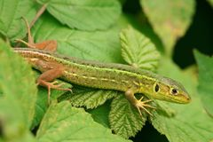 Ramarro, viridis Lacerta Stock Afbeelding