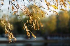 Ramas amarillas del árbol de tilo en otoño Un árbol de hoja caduca con las hojas dentadas en forma de corazón y el miel-color fra imagen de archivo libre de regalías