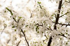 Ramas blancas de la cereza blanca floreciente imagen de archivo libre de regalías