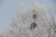 Ramas blancas de un árbol en una helada en un fondo del cielo Fotografía de archivo