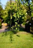 Ramas brillantes del abedul con las hojas del verde en luz del sol de la tarde Foto de archivo libre de regalías