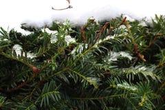 Ramas coníferas brillantes verdes con las agujas debajo de la nieve Fondo del bosque de la conífera Árbol del invierno Imágenes de archivo libres de regalías