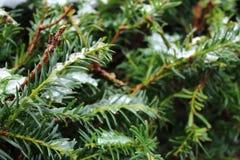 Ramas coníferas brillantes verdes con las agujas debajo de la nieve Fondo del bosque de la conífera Imagen de archivo libre de regalías