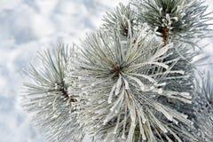 Ramas coníferas cubiertas con el pino, el hielo y la nieve de la escarcha fotografía de archivo