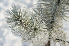 Ramas coníferas cubiertas con el pino, el hielo y la nieve de la escarcha fotografía de archivo libre de regalías