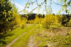 Ramas con el árbol de abedul joven de las hojas verdes de los brotes Fotografía de archivo