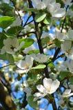 Ramas con el flor de la manzana Fotografía de archivo