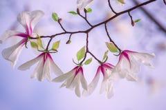 Ramas con las flores blancas enormes de la magnolia Imagen de archivo