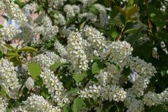 Ramas con las flores blancas florecientes Imagen de archivo libre de regalías