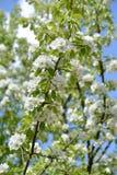 Ramas con las flores del Pyrus ordinario L communis de la pera Contra la perspectiva del cielo imagenes de archivo