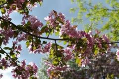 Ramas con las flores rosadas hermosas del manzano decorativo Malus Niedzwetzkyana Primavera en ciudad fotografía de archivo