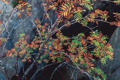 Ramas con las hojas coloreadas al borde de las rocas Imagen de archivo libre de regalías
