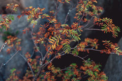 Ramas con las hojas coloreadas al borde de las rocas Fotografía de archivo libre de regalías