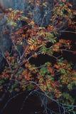 Ramas con las hojas coloreadas al borde de las rocas Fotografía de archivo
